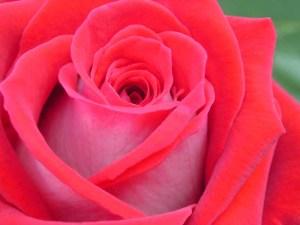 rote Rose10